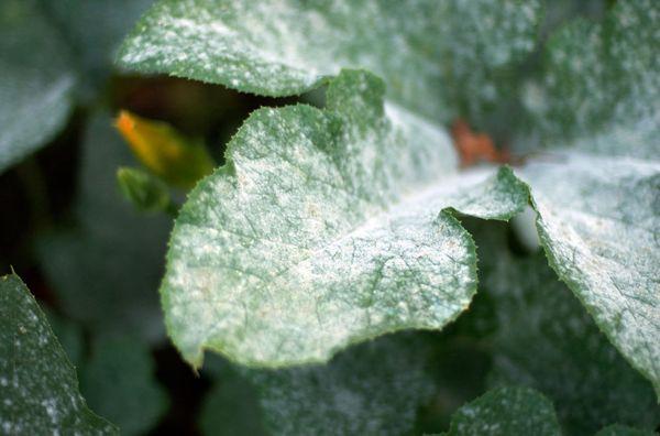Мучнистая роса - распространенное заболевание дыни