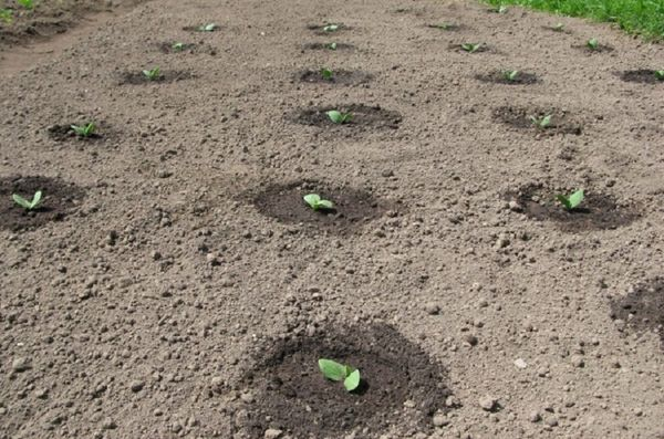 Не стоит забывать рыхлить землю и поливать растения