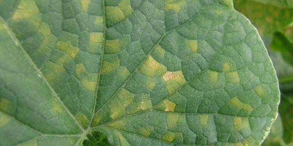 Пероноспороз также называют ложной мучнистой росой