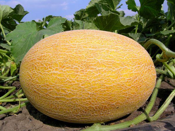 Делано – сорт раннего созревания с обильным плодоношением