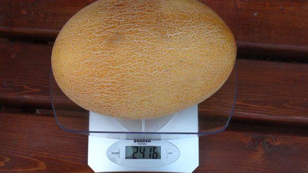 Дыня Мирон F1 может достигать 3,5–5 кг