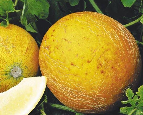 Одна зрелая ягода весит порядка 2–4 кг