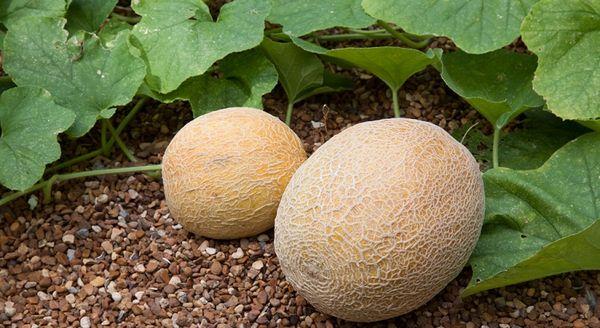 Вегетационный период Десертной дыни составляет 72–94 дня