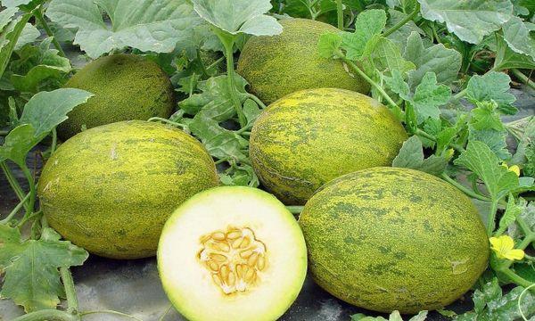 В теплое лето урожай может созреть на неделю раньше
