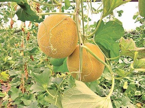 Удобрения могут поспособствовать созреванию дыни