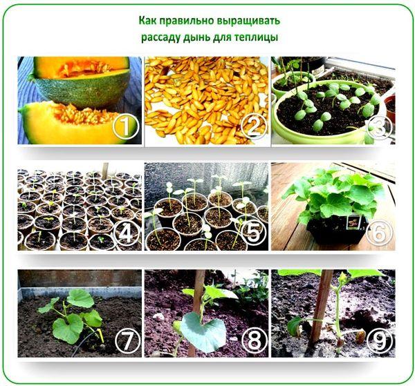 Подготовкаи посадка семян дыни