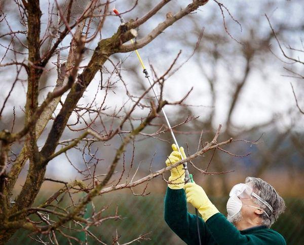 Обработка яблони ранней весной начинается в середине марта