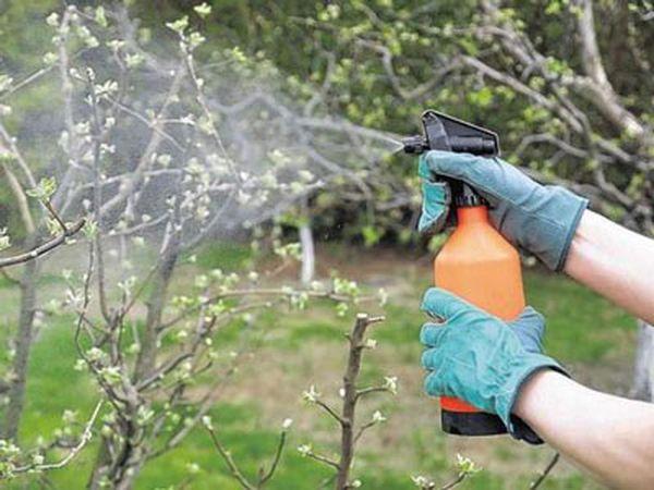 Второй этап обработки яблонь начинается с распускания почек
