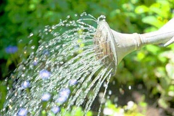 Поливать семена арбуза нужно только теплой водой