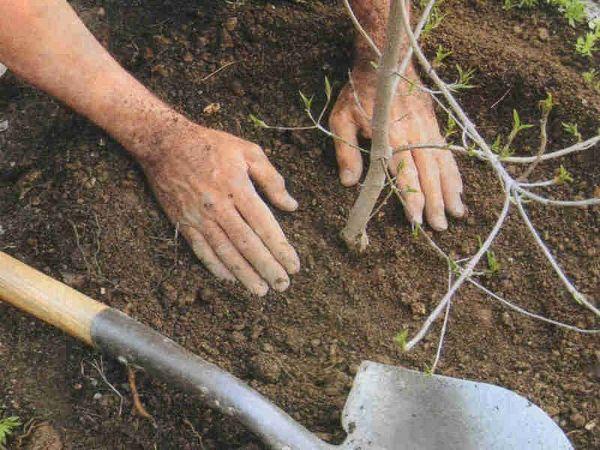 Саженец вишни сажают в период покоя