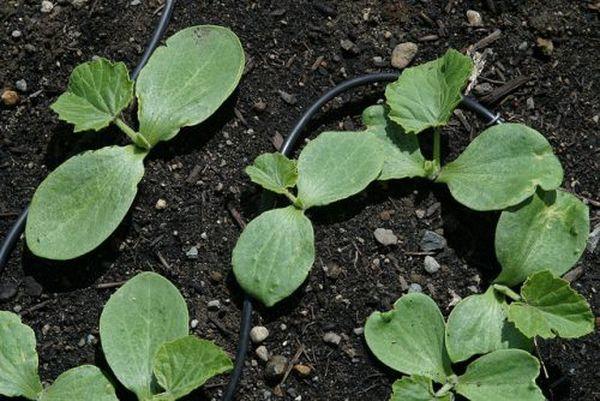 Рассаду тыквынужно регулярно поливать