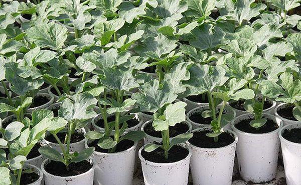 Перед тем как садить рассаду в грунт ее необходимо полить