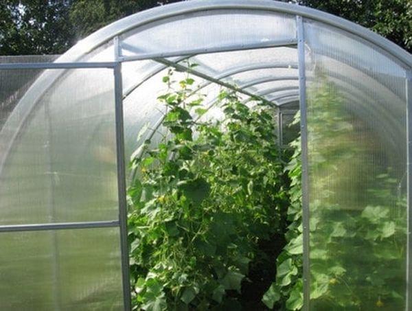 Дыню Торпеда рекомендуют выращивать в теплицах