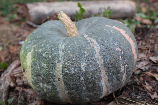 Сорт Мраморный - дает огромные плоды