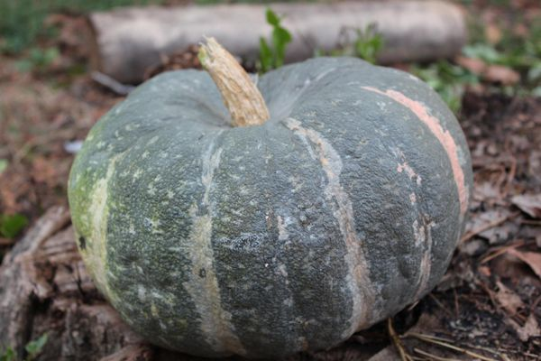 Популярный сорт тыквы Мраморная