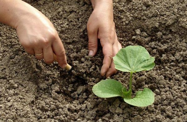 Подкормка позволит вырастить крупные плоды тыквы
