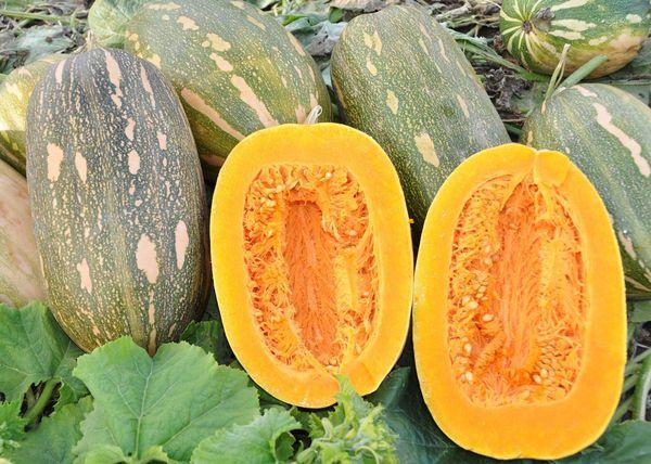 Дынная –среднеранний высокоурожайный сорт