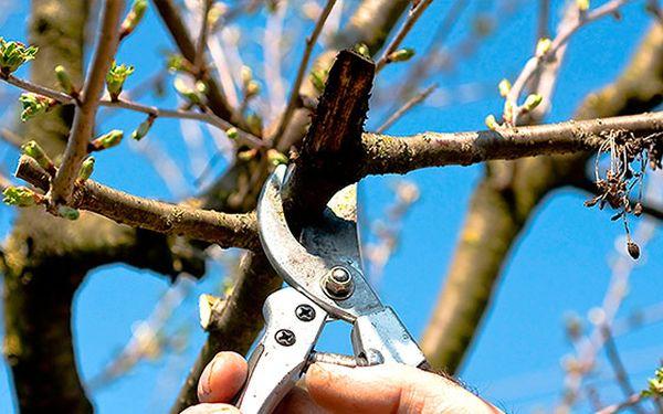 При обрезке древовидной вишни нужно убрать однолетние побеги