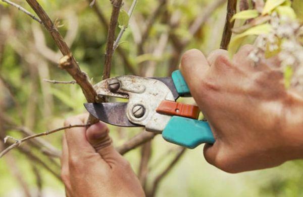 Омолаживающая обрезка войлочной вишни проводится весной