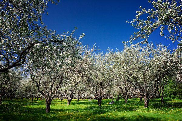 Во время цветения подкармливают только корневую систему