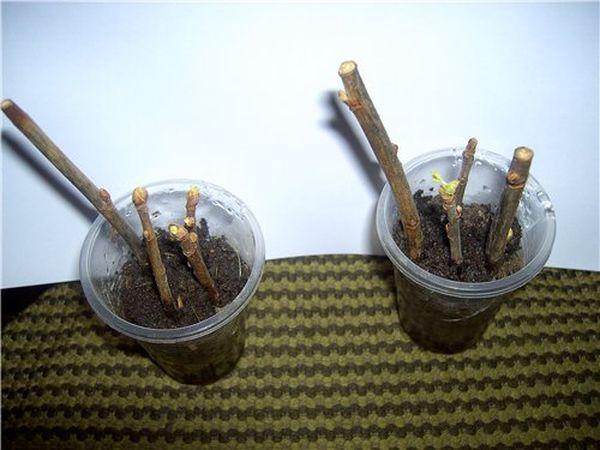 Укоренение зеленых черенков яблони