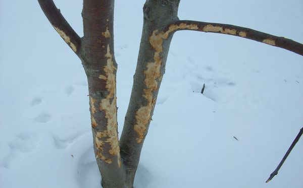 Кора дерева поврежденная грызунами