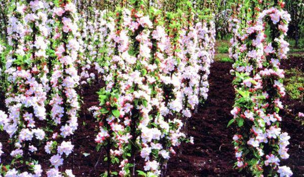 В первый год цветения яблони оставляют не более 2 завязей