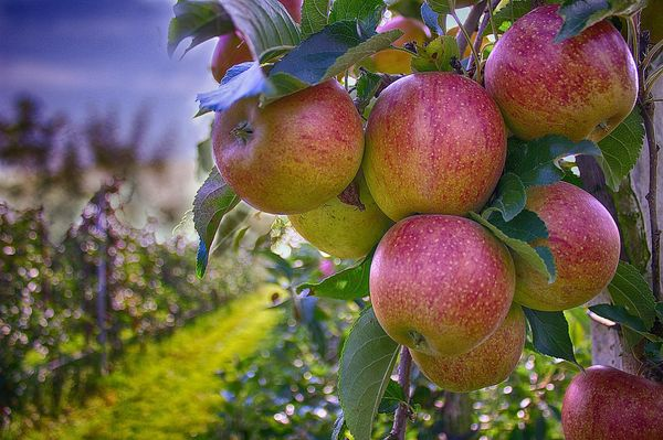 Яблоняприносит урожай не ранее, чем спустя 5 лет