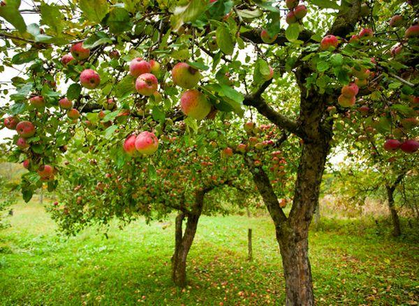 Урожайность яблони зависит от ухода