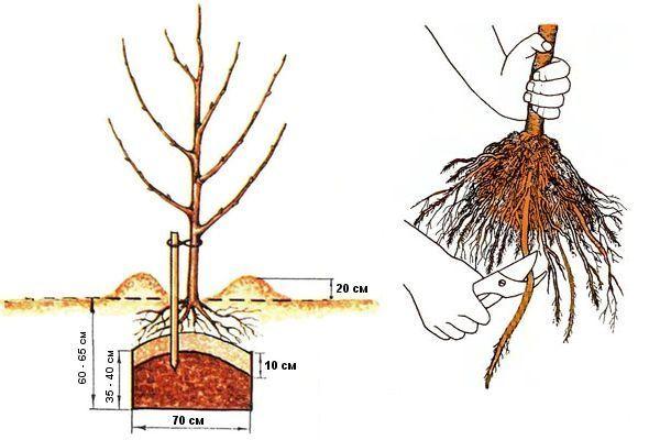 Процесс весенней посадки саженца яблони