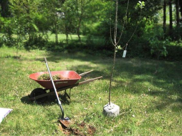 Яблони рекомендуется сажать весной