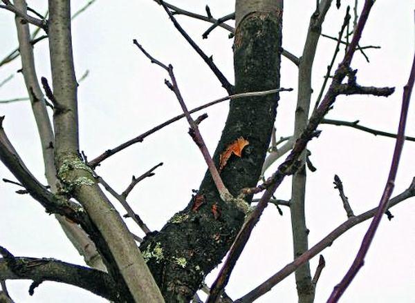 Яблоня может получить обморожение зимой