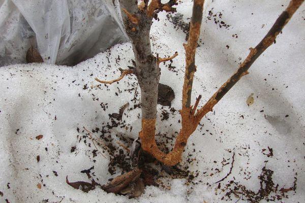 Кору дерева могут повредить грызуны