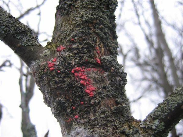 Заболевание коры яблони - цитоспороз