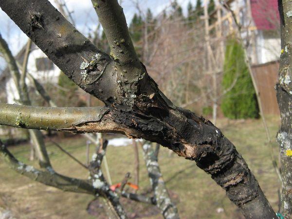 Черный рак неизлечим для дерева