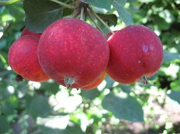 Алтайское Багряное имеет насыщенный багряный цвет
