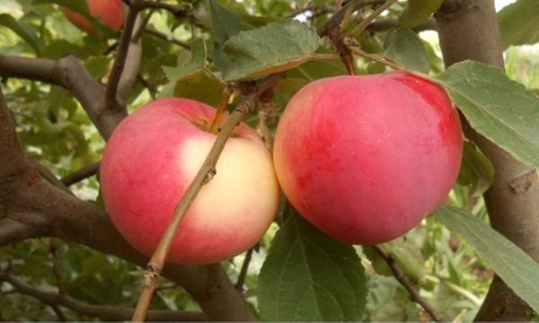 Плоды сорта Сувенир Алтая весят до 130 г