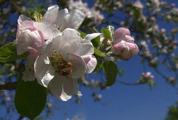 Яблони весной особенно нуждаются в уходе