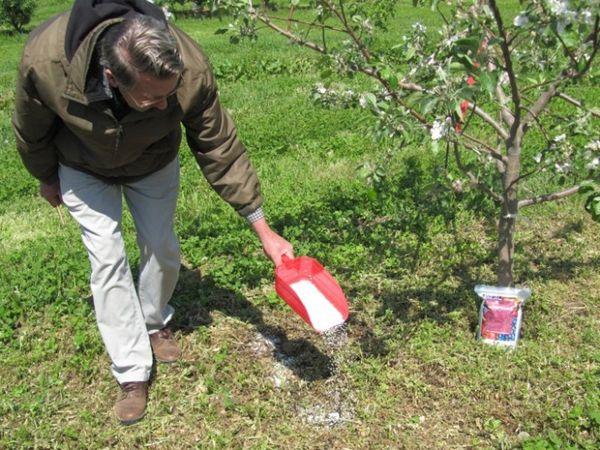 Подкармливают яблони и весной и осенью