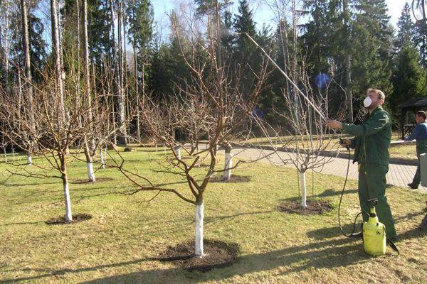 Опрыскивание защитит яблоню от вредителей