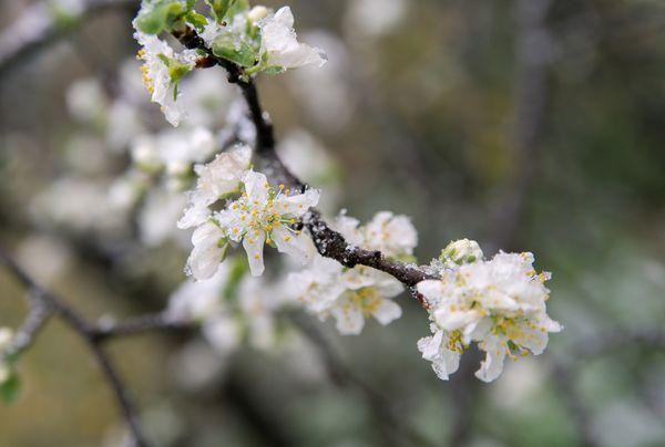 Весенние заморозки опасны для яблони