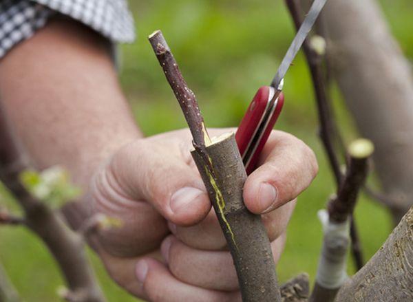 Прививать яблоню осенью свежими черенками вполне реально