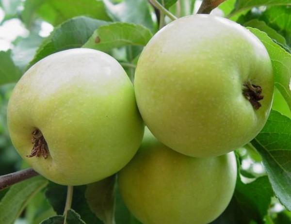 Яблоня Братчуд отличается высокой урожайностью