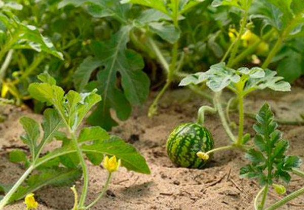 Арбузы и дыни – растения-однолетки