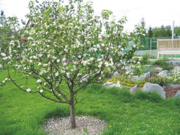 Ярусно – разреженный тип обрезки яблони считается простым