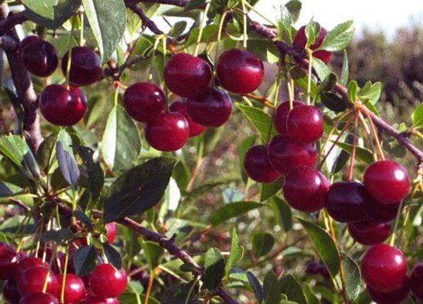 Зимний гранат относительно молодой вид вишни
