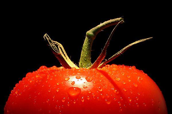 На гидропонике наблюдается высокая урожайность и качество томатов