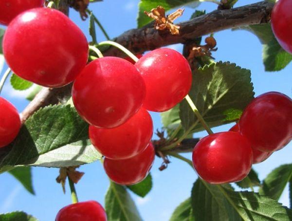 Как ухаживать за вишней: посадка кустарника в открытый грунт, уход за вишней весной и летом, размножение