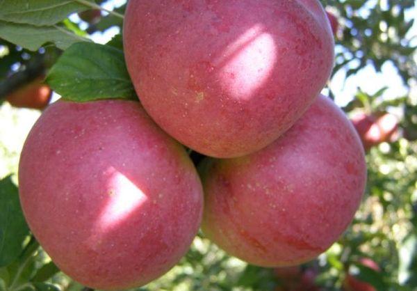 Яблоня Деличия имеет стабильное плодоношение