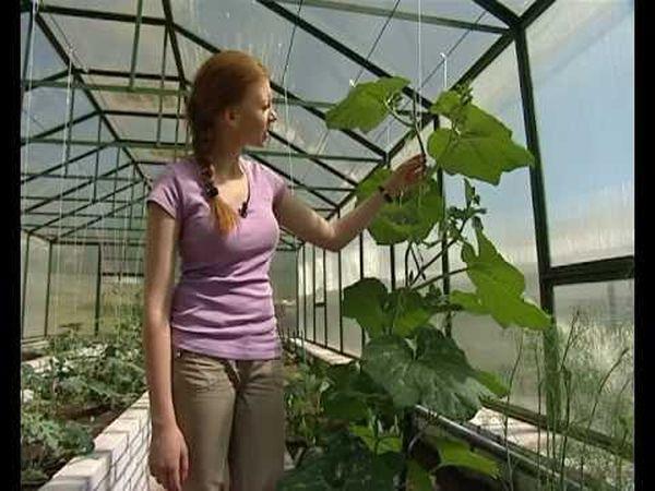 Лучше всего выращивать дыни в теплице из поликарбоната